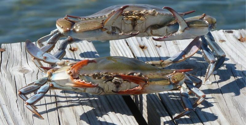 museum quality professionally painted blue crab make great gifts